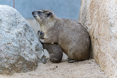 Caught between a Rock and a Hyrax (ToddLahman) Tags: rockhyrax hyrax rock nighttimezoo sandiegozoo sandiego lowlight canon7dmkii canon canon100400