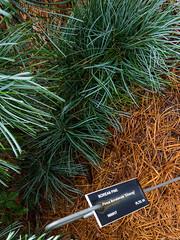 Pinus koraiensis 'Silveray' 2016 (F. D. Richards) Tags: usamichigan hiddenlakegardens mi 5174312060 naturewalk tipton msu michiganstateuniversity 6214monroeroad zone5 us50 hlg 49287 michigan onsted unitedstates us