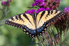Natures Splendor (tresed47) Tags: 2016 201607jul 20160720chestercountymisc butterflies canon7d chestercounty content flowerunidentified flowers folder insects pennsylvania peterscamera petersphotos places springtonmanor takenby us ngc platinumheartaward npc