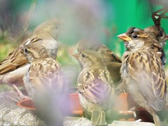Mirage of Sparrows ...  (Tricia in Kent UK ....) Tags: mirageofsparrows sparrows birds mirage cooling softcolours garden lavenderbush lavender outdoors