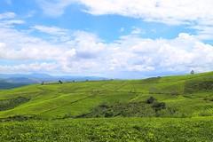 Tea plantation (themilkyway_hm) Tags: greentea green tea dalat vietnam trip travel plantation sky blue hill cloud tree doiche traxanh