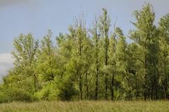 Au-Wald im Ostermoor; Seeth, Stapelholm (5) (Chironius) Tags: stapelholm schleswigholstein deutschland germany allemagne alemania germania    ogie pomie szlezwigholsztyn niemcy pomienie seeth nordfriesland rosids fabids malpighienartige malpighiales weidengewchse salicaceae weiden weide salix osier willow marsault saule sauce salice salcio   st wilg  baum bume tree trees arbre  rbol arbres  rboles albero  rvore aa boom trd