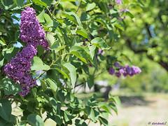 Purple flowers (darkadi1) Tags: olympus mzuiko m45mm epl6 pen green flowers purple blue tree light sun trees house garden flickr styca polska poland nature