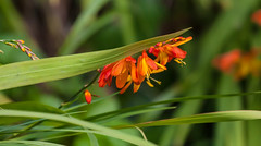Flickr members are victims of cyber warfare! (Steve-h) Tags: nature natur natura naturaleza fleurs crocosmia montbretia blossoms leaves colour colours orange yellow green black wildflowers park bushypark dublin ireland europe autumn fall september 2015 ef eos canon camera lens digital exposure steveh