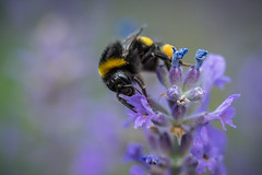 Lavender love (Jens Haggren) Tags: olympus em1 humblebee lavender ourgarden nacka sweden