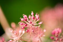 DSC01066.jpg (chagendo) Tags: pflanze makro makrofotografie sonyalpha7ii 90m28g outdoor