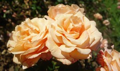 Warm Wishes (Dave Roberts3) Tags: cardiff glamorgan wales roathpark rose orange peach colour warmwishes garden ngc coth coth5