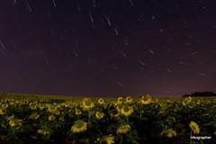 Stars and Sunflowers (Nikographer [Jon]) Tags: sunflowers stars startrails nikographer