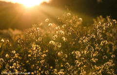 The warmth of the late summer sun. (andreasheinrich) Tags: nature fields bushes summer evening sunset september warm colorful germany badenwrttemberg neckarsulm dahenfeld deutschland natur felder bsche sommer abend sonnenuntergang farbenfroh nikond7000