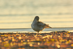 Vogel Dars Ahrenshoop 02 (Basel101) Tags: ostsee deutschland prerow ahrenshoop fischland naturschutz natur stand see meer sonne sonnenaufgang