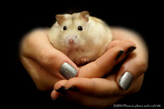 Squeak the hamster (Phoenix photo and craft UK) Tags: pet hamster hands