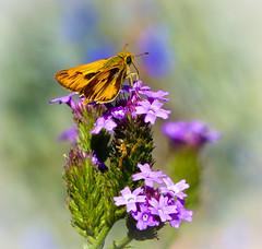 """Little Skipper""  Fiery Skipper Butterfly (Hylephila phyleus) (Cathy Lorraine) Tags: fieryskipper butterfly hylephilaphyleus shipleynaturecenter macromondays nature huntingtonbeach california coth5 ngc sunrays5 npc skipper posing beautiful"