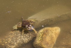 (spotboslow) Tags: mountauburncemetery cambridge watertown massachusetts frog auburnlake