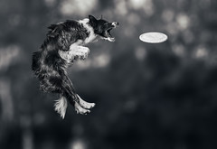Obi (DigitalBite) Tags: bc bordercollie frisbee dogsport dog dogphotography action