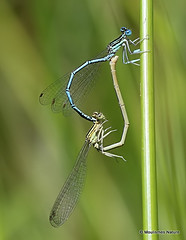 IMG_4080. WHITE-LEGGED DAMSELFLY (Platycnemis pennipes) (Nick Ransdale (http://www.nick-ransdale.com/)) Tags: whiteleggeddamselfly platycnemispennipes