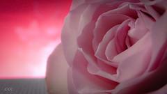 A rose is a rose (babs van beieren) Tags: macromonday backlit rose pink romantic