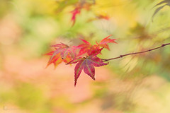 acer-leaves-autumn (leavesnbloom photography by Rosie Nixon) Tags: autumn acer leaf bokeh