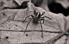 spider (heiko.moser (+ 9.800.000 views )) Tags: spider spinne tier tiere animal animale noiretblanc natur nb nero nature natura nahaufnahme mono monochrom macro makro bw blackwhite blancoynegro sw schwarzweiss canon heikomoser