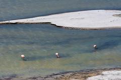 Lunchtime (mcbiofa) Tags: flamingo fenicotteri rosa pink laguna lake salt sale