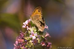 Colors (christian.grelard) Tags: colors couleurs papillon butterfly nature fleur flower