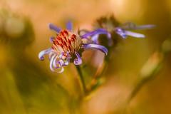 Verblht (Sascha Wolf) Tags: bokeh macro botanischergarten verblht herbst farbenfroh blte blume