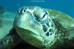 IMG_0127 (Aaron Lynton) Tags: lyntonproductions ocean turtle starfish maui hawaii canon g1x