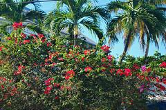 Key West (Florida) Trip, November 2014 0005Ri 4x6 (edgarandron - Busy!) Tags: flowers houses house flower keys florida bougainvillea keywest floridakeys elizabethstreet