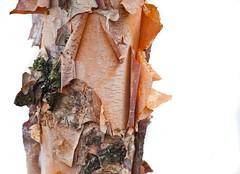 Bark Peel (Orbmiser) Tags: autumn tree fall oregon portland nikon peeling bark trunk d90 55200vr