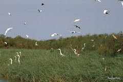 Air Traffic, Okavango Delta (Zsuzsa Por) Tags: africa bird nature water animal river wildlife safari botswana egret moremi animalplanet okavango ardeaalba okavangodelta wildlifeafrica canonef2470mmf28 canonistas canoneos7d canonef70200mmf28lisusmii