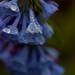 mertensia virginica, ouryard, jdy104 XX200904146542.jpg