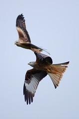 Red Kite 4 (Hugobian) Tags: red kite bird art nature birds animal wales fauna feeding pentax wildlife centre raptor british