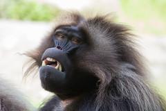 Dschelada / Baboon, Bronx Zoo, New York (HendrikSchulz) Tags: nyc newyorkcity newyork eos zoo tiere bronx bronxzoo baboon gelada canonl 600d 2013 dschelada canonef70200f4lusm blutbrustpavian canoneos600d