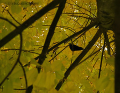 The Bird Is The Word (jimoliverphotography) Tags: from autumn color tree bird fall leaves word one is washington leaf view calendar pacific northwest images here wa crow rim the 2015