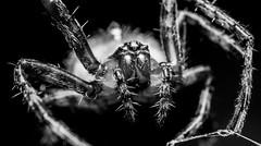 Monster in my Garden (sjreed77) Tags: blackandwhite macro nature spider arachnid bugs creepy predator reverselens d300