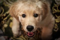 Nami (Oksana_Oeri) Tags: dog puppy golden retriever helios442