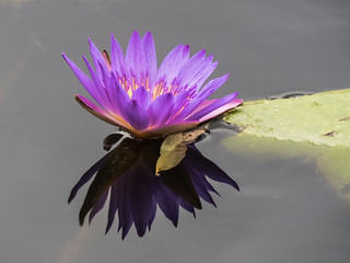 Water-lily Mt Coot-tha