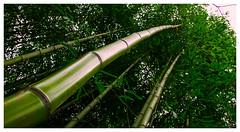 Bamboo Grove (efstop1) Tags: green nature virginia nikon grove bamboo colonialwilliamsburg nikon105mm fisheyeimage nikond750