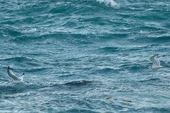Black-legged Kittiwake (fredhochstaedter) Tags: bird gull ptpinos blackleggedkittiwake rissatridactyla