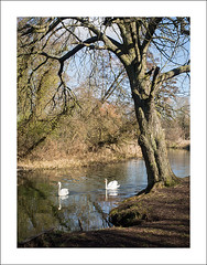 Early spring on the river Yare (Christa (ch-cnb)) Tags: uk england tree water birds river swan norfolk olympus swans norwich pro zuiko eastanglia omd yare em5 mzd1240mm