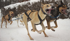 Sled-dog race 2015 in Saignelgier - Switzerland (Rogg4n) Tags: winter dog chien snow animals sport race speed canon eos switzerland suisse action racing jura sled chiens traineau saignelgier 18135mm 100d emibois