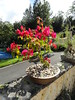 Bougainvillea topiary (Jardin Boricua) Tags: flower topiary bougainvillea bonsai topiario bougainvilleatopiary