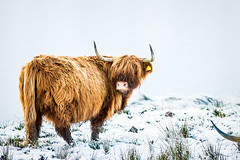 McTavish the Coo (Tim Edgeler) Tags: mountains scotland cow scottish hills mascot highland loch mctavish lomond coo heelan
