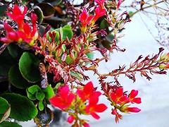 ptica de Ternura (Rico Serid) Tags: verde planta flor vermelho jardim folha ternura ptica ptala suavidade jardinagem