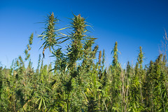 140923acp385mb005.jpg (ukagriculture) Tags: summer weather research hemp researchplots researchfarms spindletopfarm