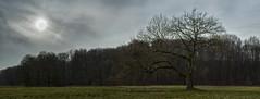 January Sun 2015 (L I C H T B I L D E R) Tags: park winter tree germany seasons jahreszeiten january cologne kln ash baum stadtwald urbanpark esche cityforest excelsiorfraxsinus