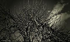 Figueira no Inverno (antoninodias13) Tags: portugal samsung galaxy inverno árvore dezembro figueira castelobranco figos beirabaixa sertã semfolhas antoninodias13