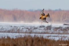 Northern Harrier (NickJaramillo) Tags: nature birds canon newje