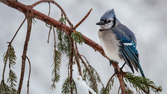 Waiting (John Clay173) Tags: winter snow bird connecticut newengland bluejay jclay