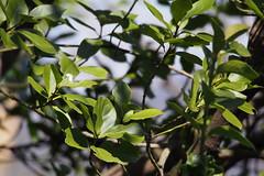 Japanese Spindle Tree (Euonymus japonicus) (harum.koh) Tags: euonymus plantae magnoliophyta magnoliopsida celastraceae celastrales tracheophyta taxonomy:class=magnoliopsida taxonomy:kingdom=plantae taxonomy:order=celastrales マサキ euonymusjaponicus japanesespindletree taxonomy:phylum=magnoliophyta taxonomy:binomial=euonymusjaponicus taxonomy:common=japanesespindletree taxonomy:genus=euonymus taxonomy:family=celastraceae taxonomy:species=japonicus taxonomy:superphylum=tracheophyta
