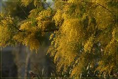 Frühling * Spring * Primavera   .P1130825-001 (Maya HK - On and Off) Tags: españa plants primavera spring spain plantas pflanzen spanien frühling 2015 mimosenbaum 230215 judojudoelafotografia panasoniclumixfz200 copyrightbymayawaltihk explored23022015